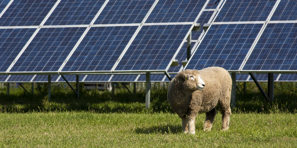Sheep grazing on a solar farm