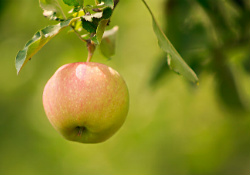 Apple hanging from a branch