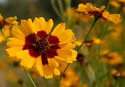 Coreopsis from The Garden House, Saxby